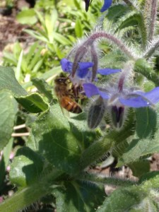 Borage (Borago officinalis) with a bee