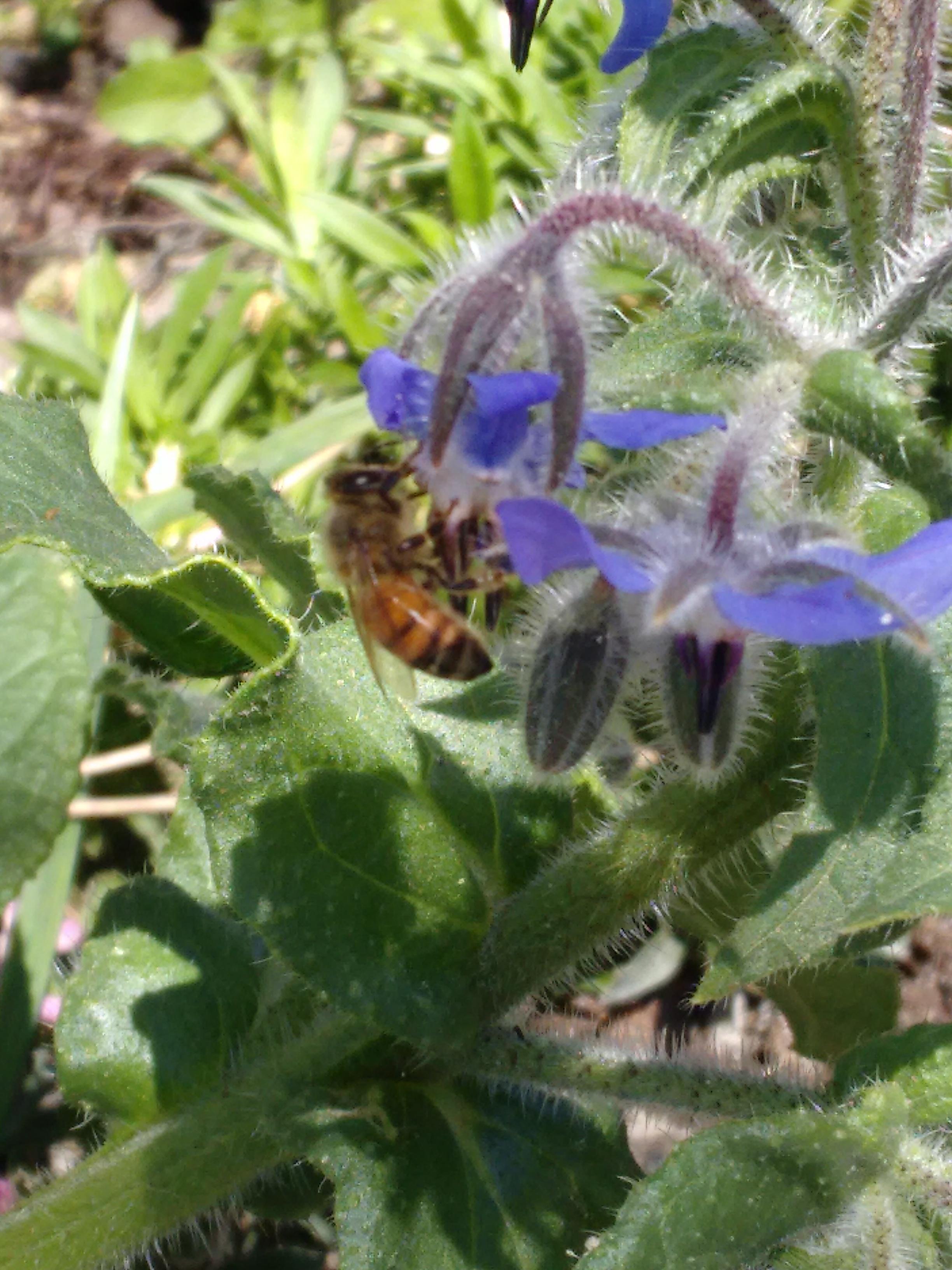Borage (Borago officinalis) with a bee