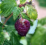 Purple fruited raspberry hybrid