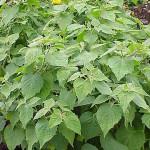 Cape gooseberry plant