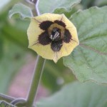 Cape gooseberry flower