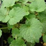 Anise hyssop leaf