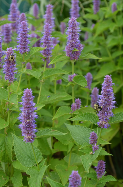 Anise hyssop agastache foeniculum herbs and other for Agastache cuisine