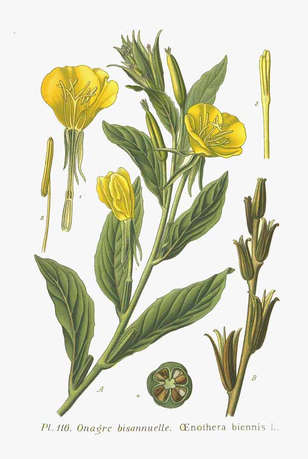 Evening primrose (Oenothera biennis) – Herbs and other ...