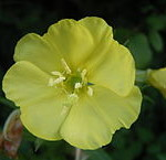 Close up of evening primrose flower