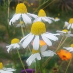 Chamomile flowers in the wind