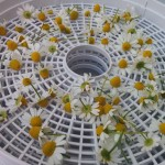 Chamomile flower ready to dry