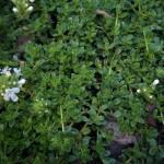 Emerald Carpet Thyme
