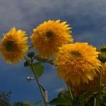 Pompom sunflowers