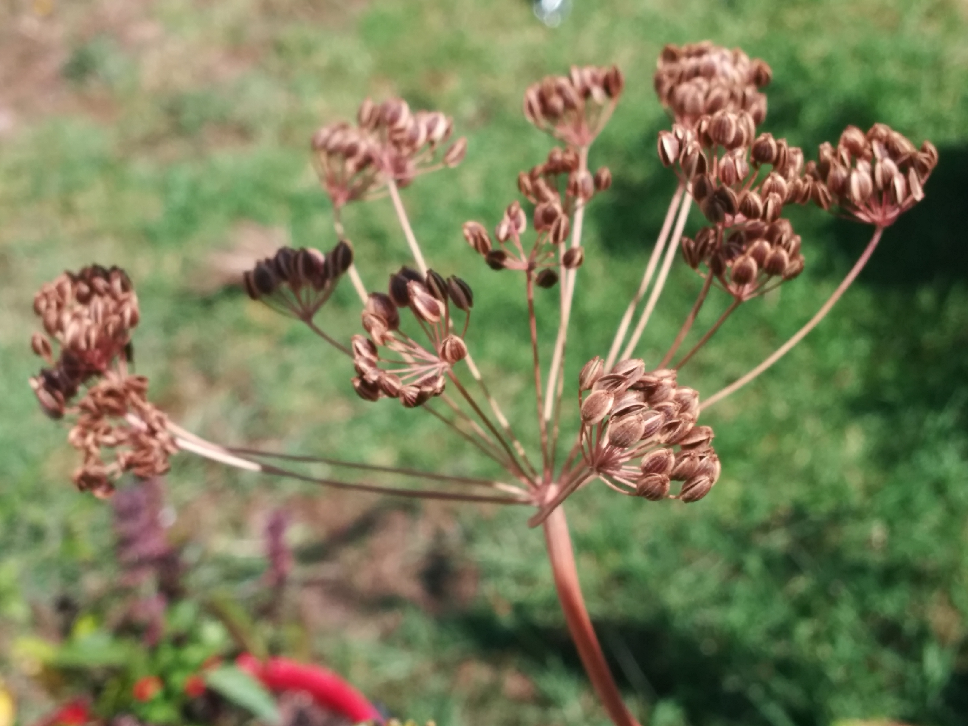 Seed Saving – Umbelliferous plants (think Parsley, Fennel & Dill)