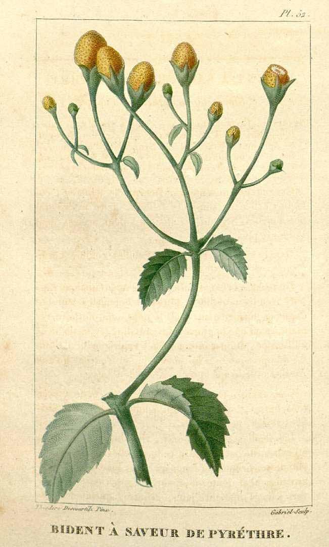 Szeschuan Buttons (Acmella oleracea)