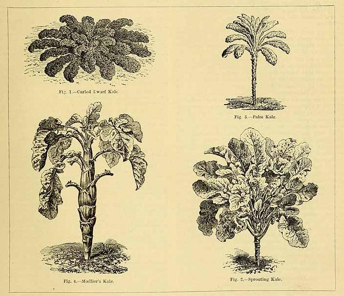 Mustard family (Brassica spp)