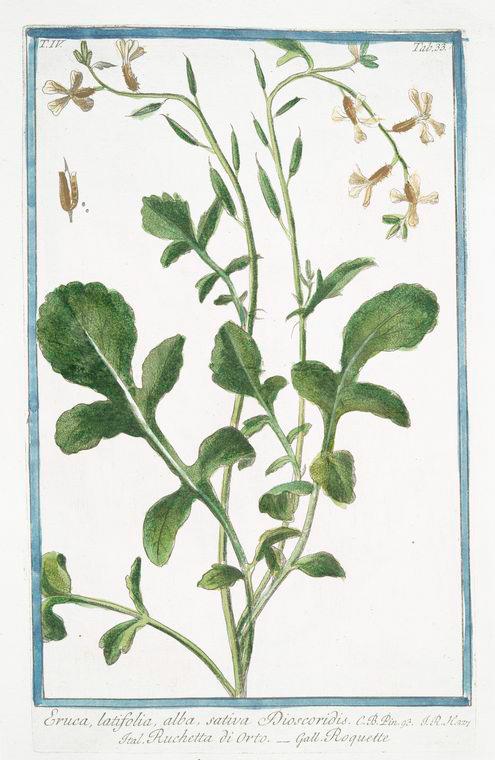 Rockets – Salad (Eruca sativa), Wild (Diplotaxis tenuifolia) and Perennial (Eruca sylvestris)
