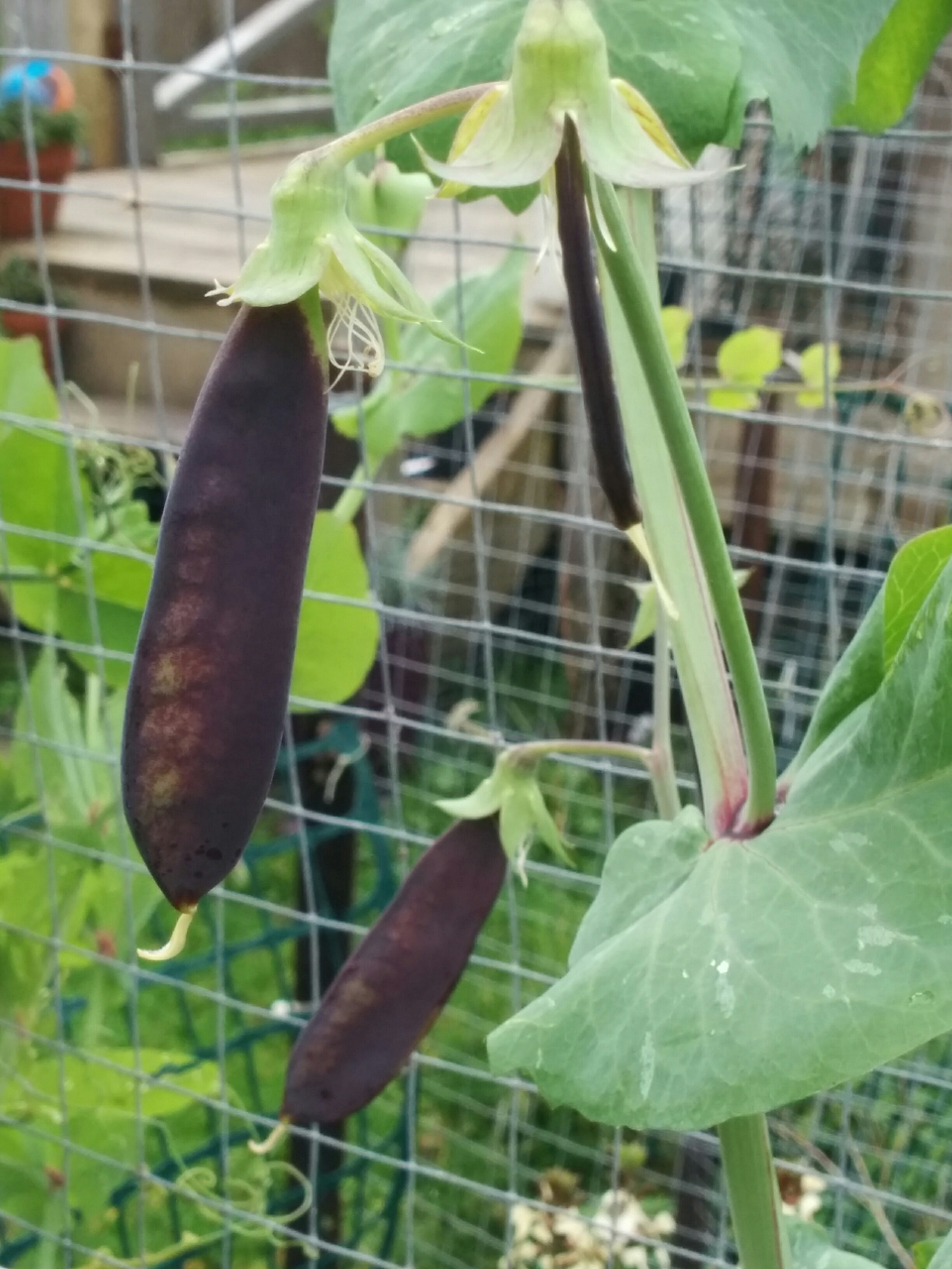 Purple Shelling Peas