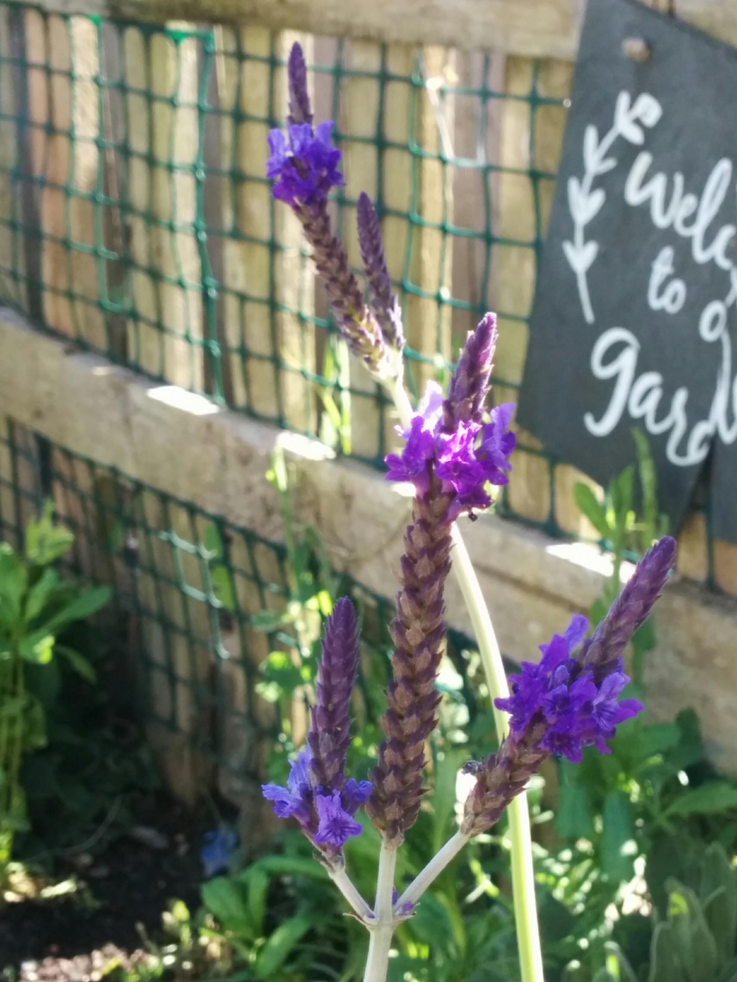 Fern leaf Lavender