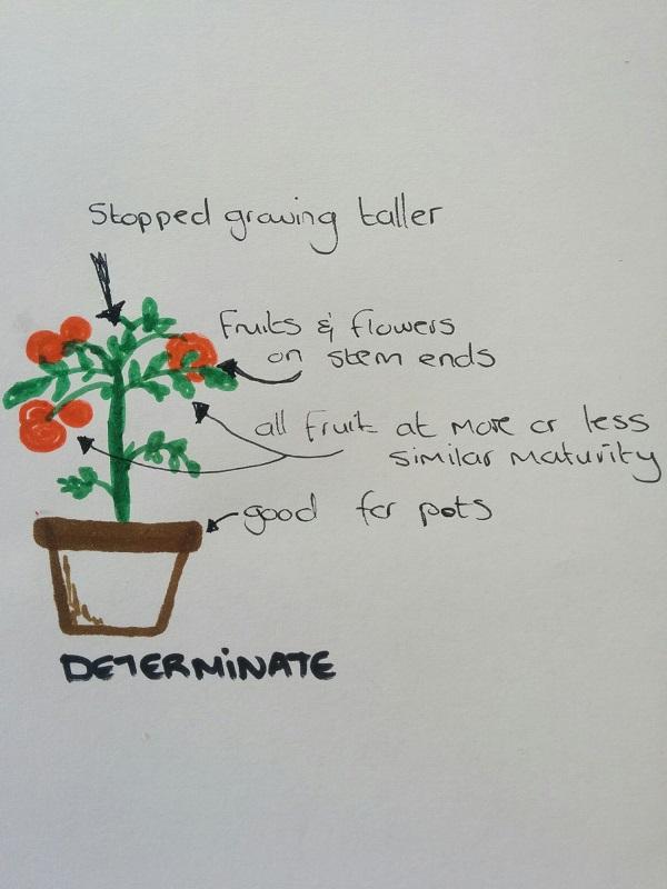 Determinate Tomatoes