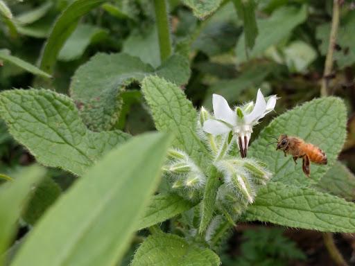 Bee on white Borage