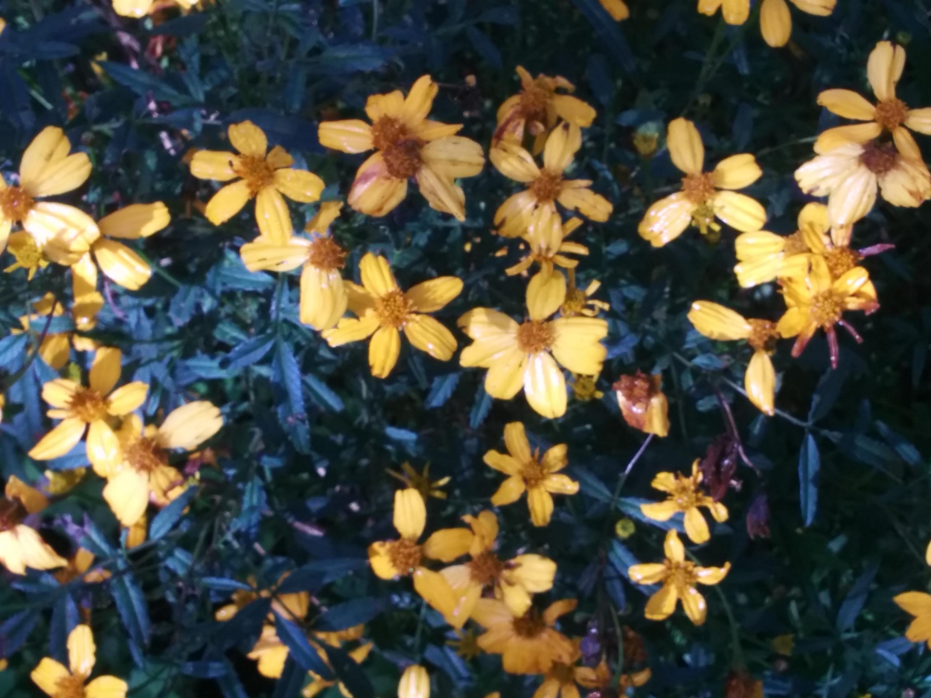 Tagetes (T. lemmonii)