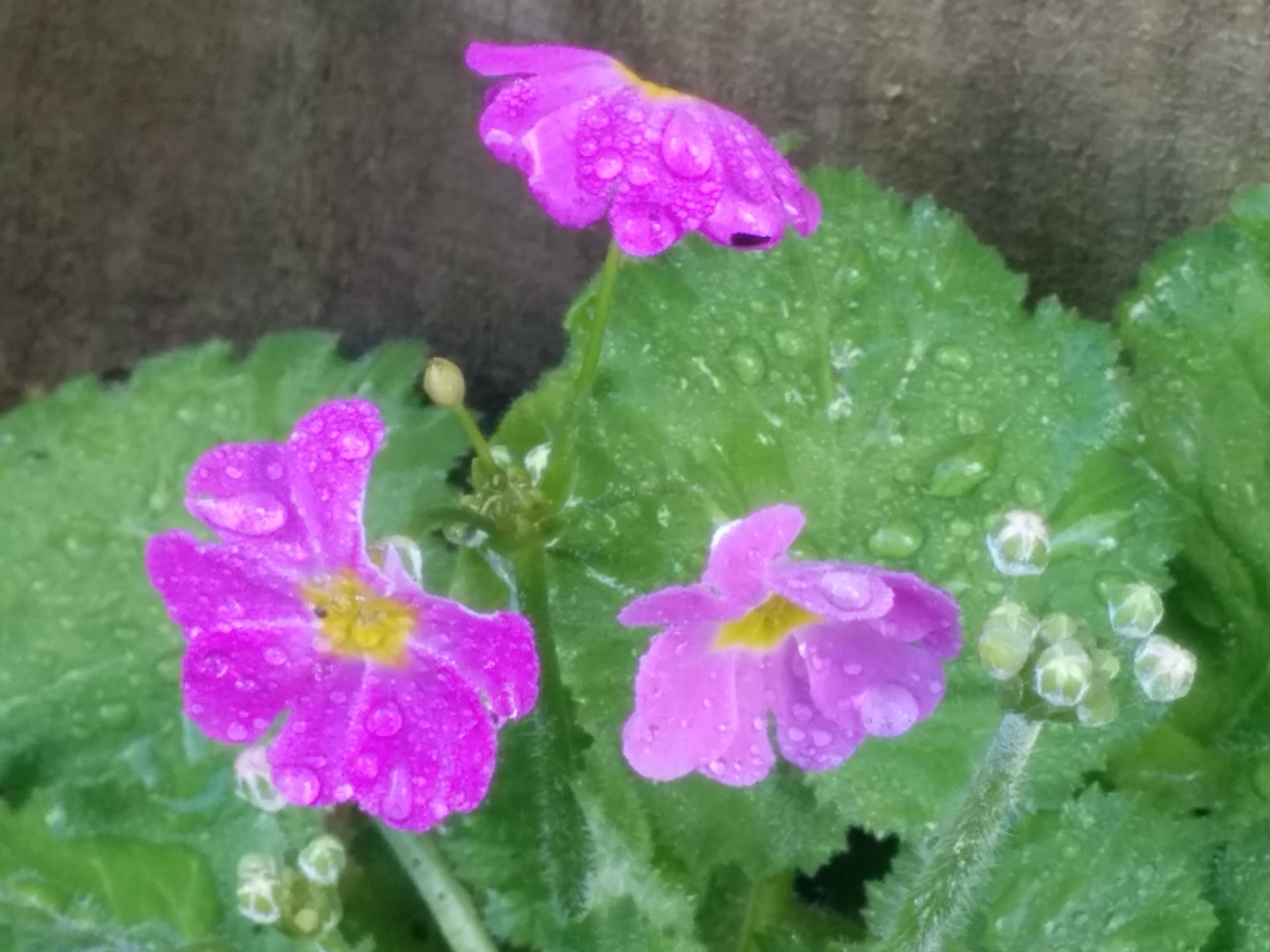 Fairy Primula