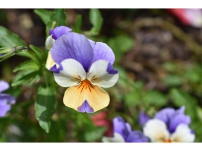 Viola passionfruit